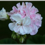 Brixworth Pearl