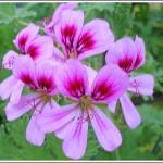 Camphor Rose
