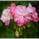 Cook´s Peach Blossom