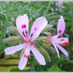Crowfoot Rose