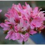 Deerwood Pink Puff
