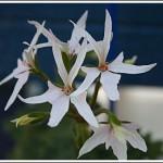 Deerwood Whishing Star