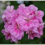 Double Pink Birdegg