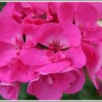 Eclipse Pink
