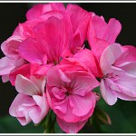 Highfield's Pink