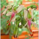 P.carnosum