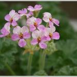 P.cortusifolium