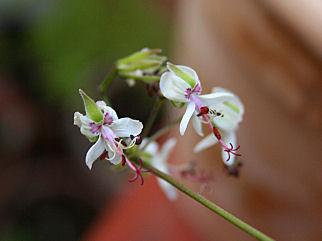 P.korodicum