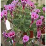 P.papalionaceum