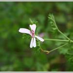 P.ternatum