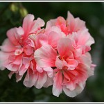 Parmenters Pink