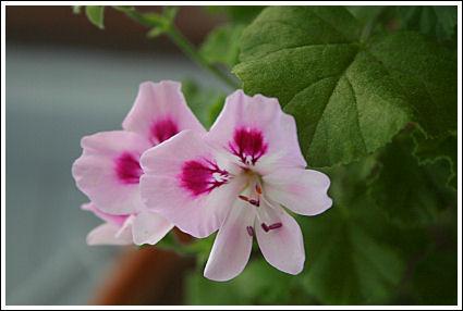 Quantock Rose