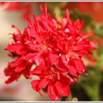 Red Marshgreen