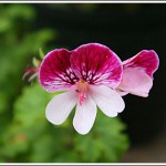 Ruby Orchid