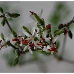 p.dasyphyllum