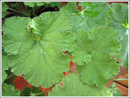 P.odoratissimum blad