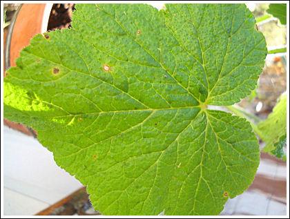 P.papallionaceum blad
