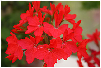 Red Startel