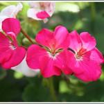 Wolverton pink