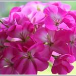 Blackvelvet Rose