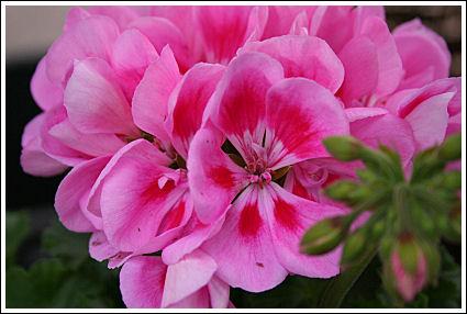 Bravo Light Pink