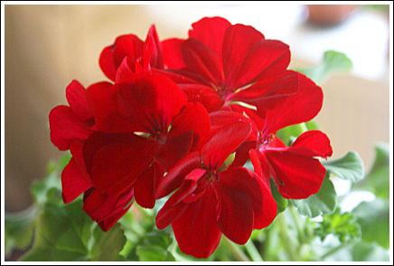 Calliope Red