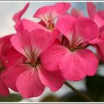 Dark Pink Birdegg