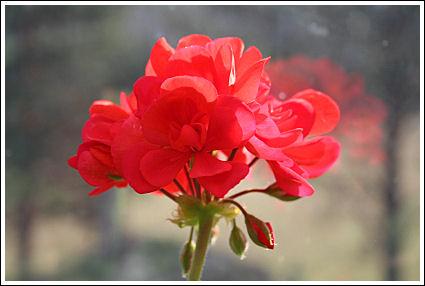 Dark Red Irène