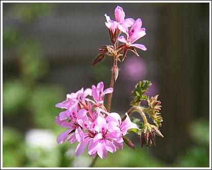 Deerwood Lavender Lass