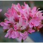 Deerwood Pink Puff