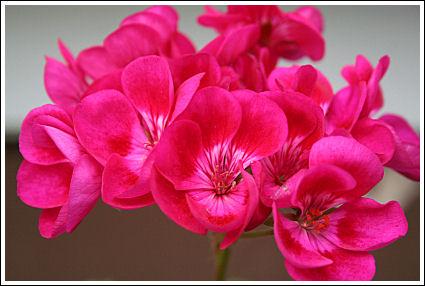 PAC Flower Fairy Berry