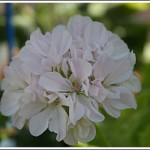 Gyllenbladig dvärg. Förädlare: Don Storey, England