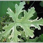 Lady Plymoth blad