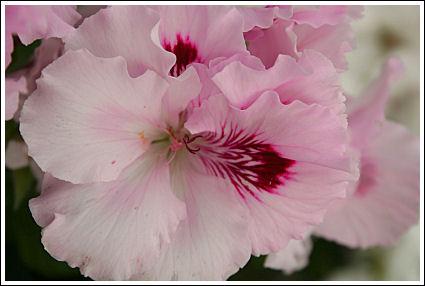 Lilac Domino