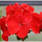 Lustre Red