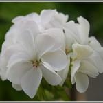 Odensjö White Lily