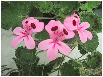 P.alpinum