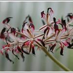 P.auritum