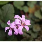 P.australe
