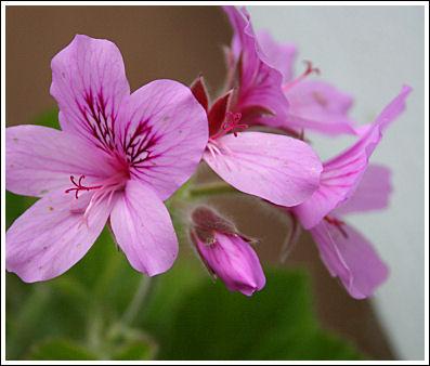 P.cuculatum