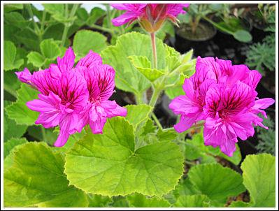 P.cucullatum floraplena