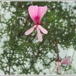 P.frutecosum