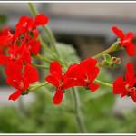 P.fulgidum röd