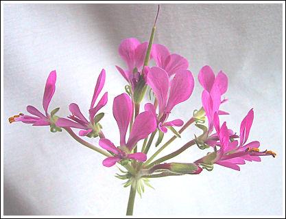 P.incrassatum