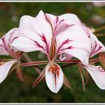 P.myrrhifolium-var.-coriandrifolium