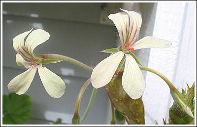 P.quinquelobatum