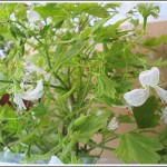 P.ribifolium