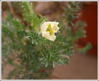 P.sarcocaulon flavens