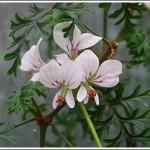 P.suburbanum-ssp.-binpinatifidum
