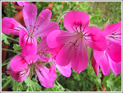Pink Capricorn